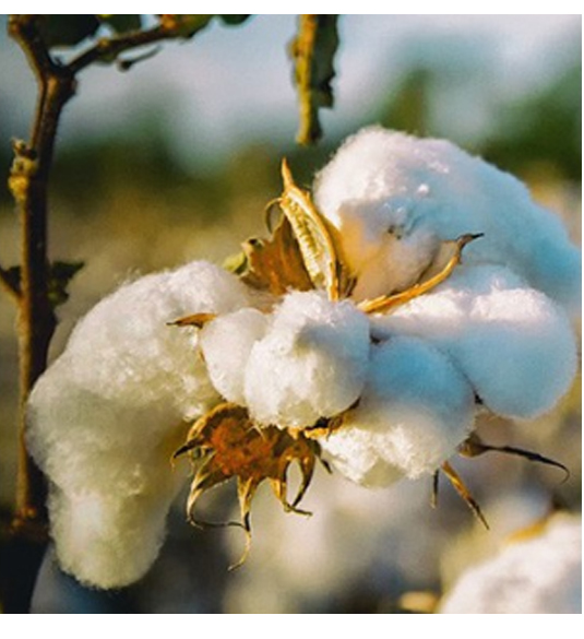 raw-cotton.jpg