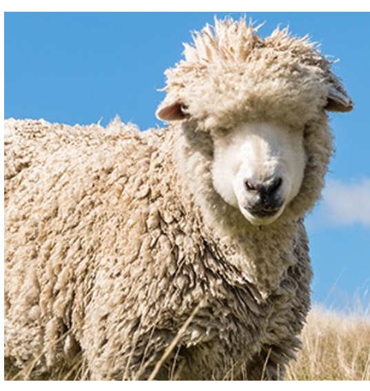raw-merino-sheep.jpg
